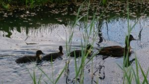 How little ducks taught me one of the biggest life lessons